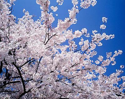 Cherry blossoms against blue sky, Yokohama city, Kanagawa prefecture, Japan - p5143717f by GYRO PHOTOGRAPHY