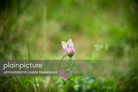 Two blue butterflies - p310m2245216 by Astrid Doerenbruch