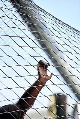 Hand eines Affen am Gitter - p1439m1496583 von Saskia Uppenkamp