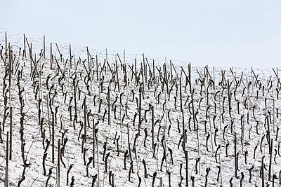 Weinberge im Winter - p248m1004117 von BY