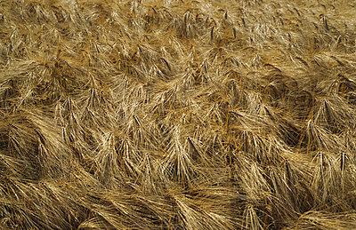 Barley - p3470025 by Georg Kühn
