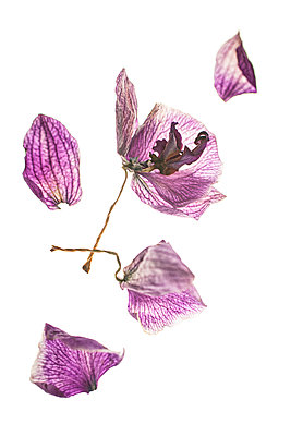 Dried orchids - p971m2147951 by Reilika Landen