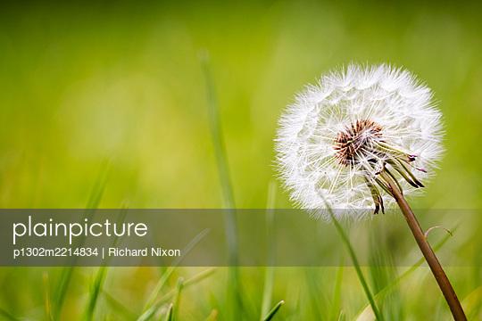 A dandelion seed head - p1302m2214834 by Richard Nixon