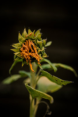 Decaying sunflower, close-up - p1628m2212021 by Lorraine Fitch