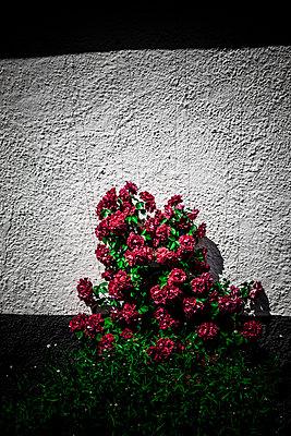 Rosenbusch an der Hauswand - p248m1463101 von BY
