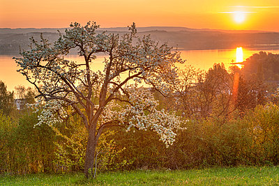 Germany, Baden-Wurttemberg, Lake Constance and trees at sunrise - p300m2132457 by Holger Spiering