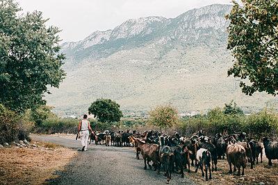 Schäfer läuft mit Ziegenherde auf Bergstraße in Albanien inmitten grüner Natur  - p1497m2149546 von Sascha Jacoby