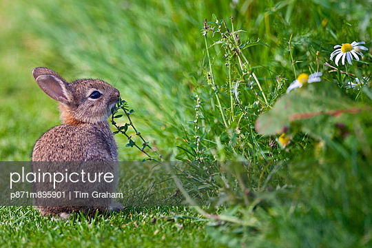 Wild young rabbit sniffing wildflower in country garden, The Cotswolds, Oxfordshire, United Kingdom - p871m895901 by Tim Graham