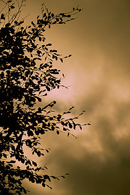 Silhouetted Autumn tree - p1228m2222534 by Benjamin Harte