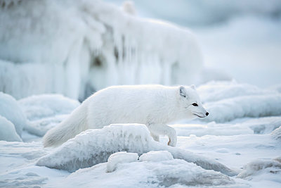 Arctic fox (Vulpes lagopus) walking through the ice chunks on Hudson Bay; Churchill, Manitoba, Canada - p442m2004104 by Robert Postma