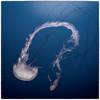 Jellyfish 1 - p1154m1138568 by Tom Hogan