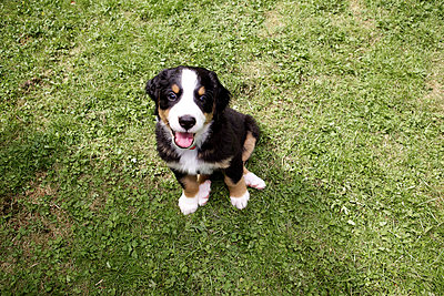 Young Bernese mountain dog - p545m822692 by Ulf Philipowski