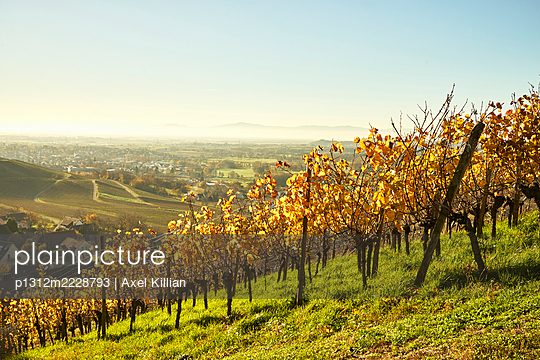 Germany, Vineyard in autumn - p1312m2228793 by Axel Killian