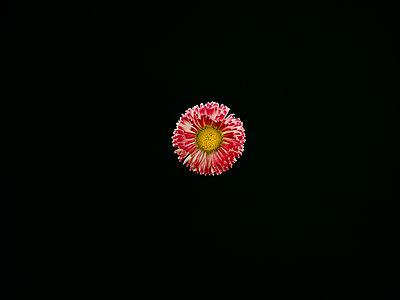 Gänseblümchen - p1267m2014012 von Wolf Meier