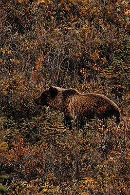 Grizzly auf Nahrungssuche - p1455m2203786 von Ingmar Wein