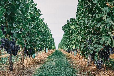 Bunches of black grapes on vineyard grapevines, Bergerac, Aquitaine, France - p429m1504831 by Gu