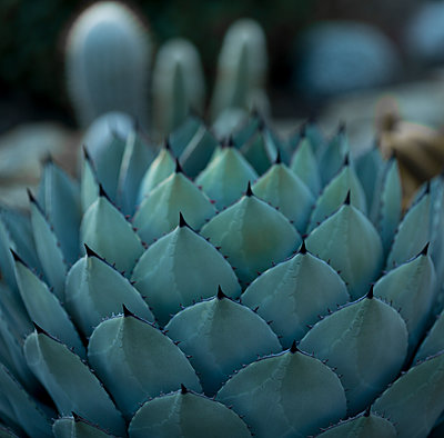 Agave close-up - p552m1094320 by Leander Hopf