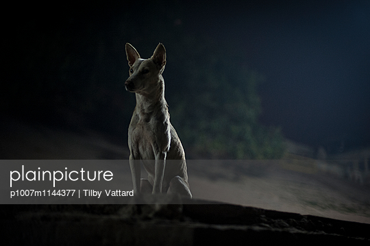 Dog staring at night - p1007m1144377 by Tilby Vattard