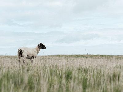 Schaf auf der Weide - p1383m2026506 von Wolfgang Steiner