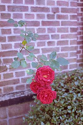 Rosenblüten - p1055m987267 von Joseph Charroy