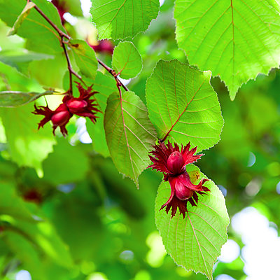 Red hazelnut - p1168m1525878 by Thomas Günther
