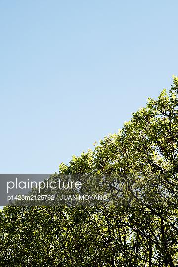 Tree windbreak against the blue sky - p1423m2125762 by JUAN MOYANO
