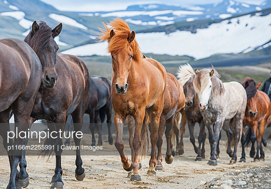 Icelandic horses on the Icelandic highlands - p1166m2255991 by Cavan Images