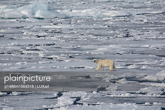 Eisbär wandert übers Eis, Lancaster Sound - p1486m1564318 von LUXart