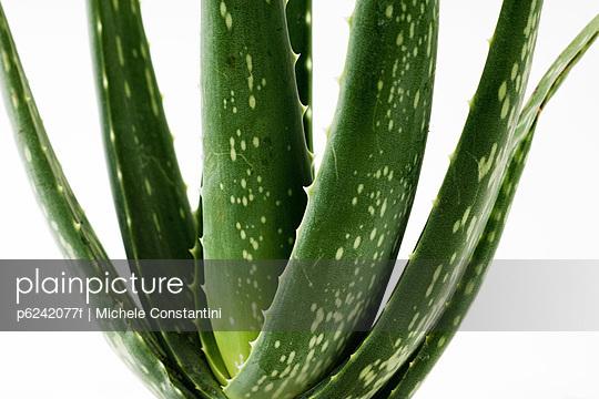 Aloe vera plant - p6242077f by Michele Constantini