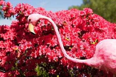 Flamingo vor Rhododendren Strauch - p045m1154721 von Jasmin Sander