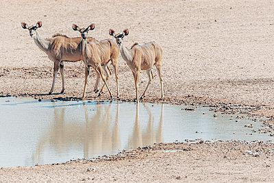 Drei Kudus an einer Wasserstelle, Kalahari, Südafrika - p1065m982611 von KNSY Bande
