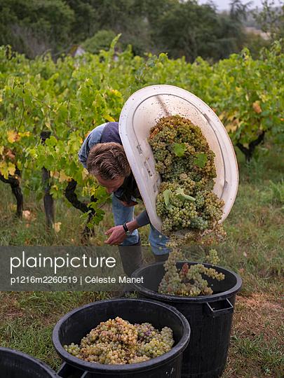 Vine and grapes - p1216m2260519 by Céleste Manet