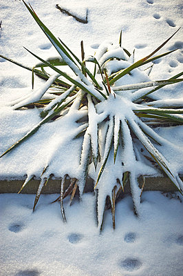 Plant in snow - p900m763146 by Michael Moser