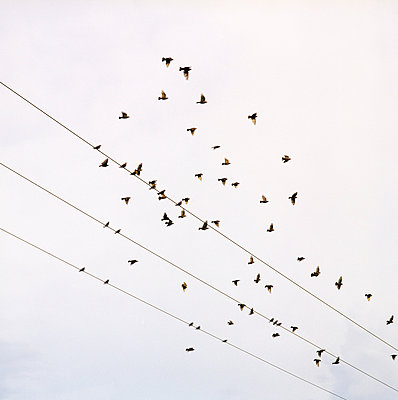 Birds flying away from high tension cables - p1231m1055655 by Iris Loonen