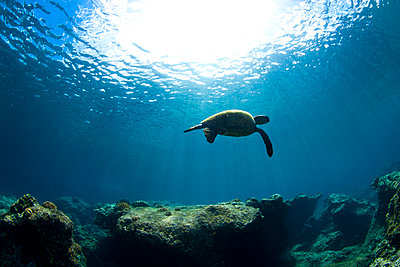 An Underwater View Of A Hawaiian Sea Turtle At Sharks Cove - p1424m1500959 by Sean Davey