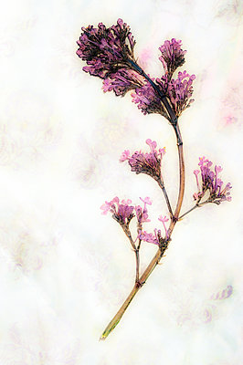 Pressed flower on patterned paper - p1047m1090524 by Sally Mundy