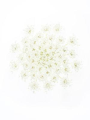 Schafgarbenblüte - p401m1462335 von Frank Baquet