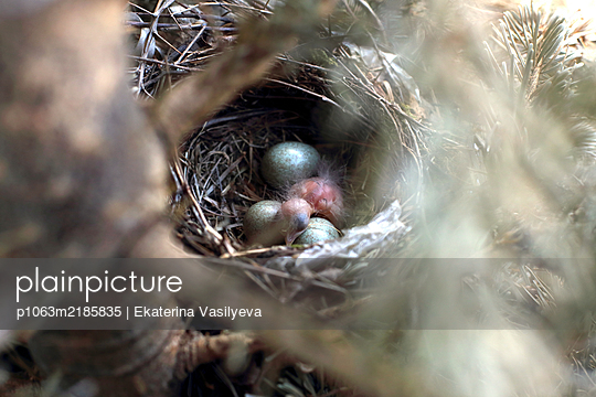 The thrush chick - p1063m2185835 by Ekaterina Vasilyeva