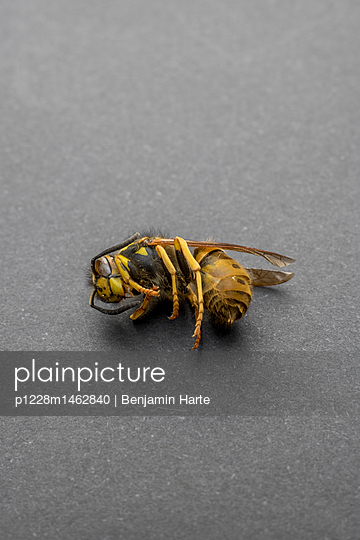 Wasp - p1228m1462840 by Benjamin Harte