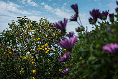 lemon tree and purple flowers - p1007m1424578 by Tilby Vattard