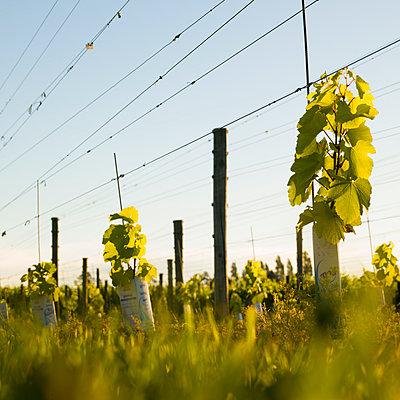 Weinbau, Neuseeland - p1201m1050068 von Paul Abbitt
