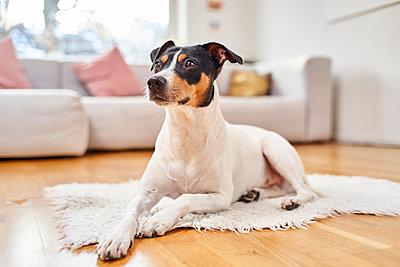 A terrier in the living room - p430m2233763 by R. Schönebaum