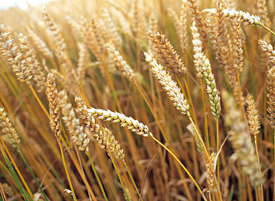 Barley field - p972m1136674 by Martin Bogren