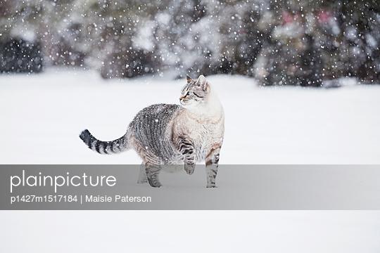 plainpicture | Photo library for authentic images - plainpicture p1427m1517184 - USA, Colorado, Grey cat wal... - plainpicture/Tetra Images/Maisie Paterson