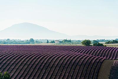 Lavendelfeld, bei Valensole, Plateau de Valensole, Alpes-de-Haute-Provence, Provence, Frankreich - p1316m1161029 von Daniel Schoenen