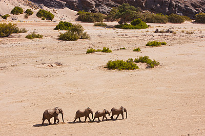 African Elephant herd walking in dry river bed - p884m864109 by Theo Allofs