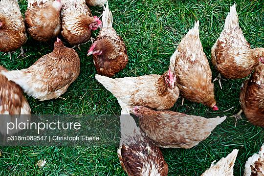 Hühner - p318m982547 von Christoph Eberle