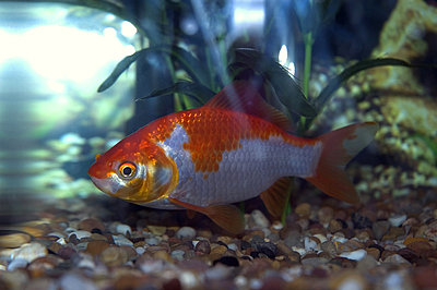 Gold Fish - p1072m829097 by Kevin Mallia