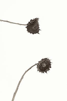 Zwei verblühte Sonnenblumen - p1335m1222583 von Daniel Cullen