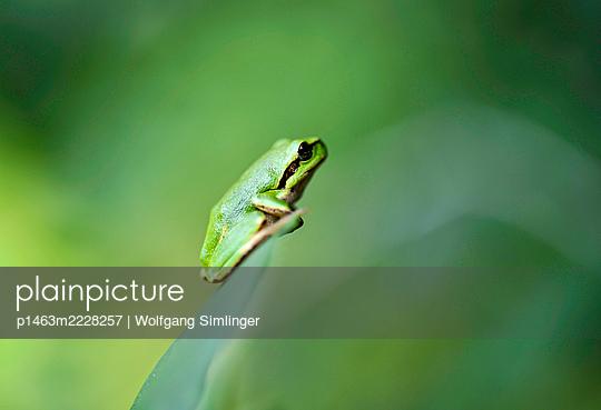 Laubfrosch, hyla arborea, Jungtier sitz auf Schilfblatt - p1463m2228257 von Wolfgang Simlinger